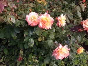 geluk rozen